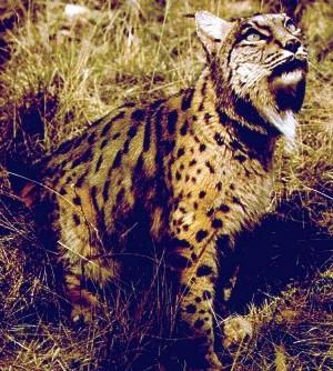 external image spanish_lynx.jpg